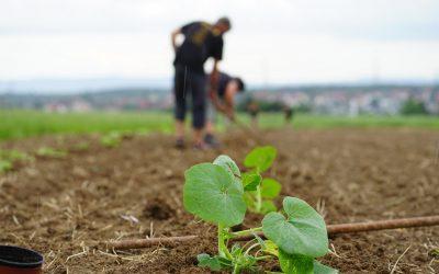 Kürbis-Pflanzaktion im Juni 2021
